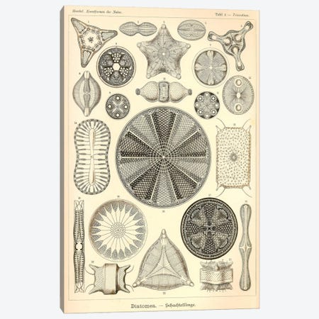 Diatomea - Scheiben-Strahlinge - Heliodiscus Canvas Print #PCA190} by Print Collection Canvas Art Print