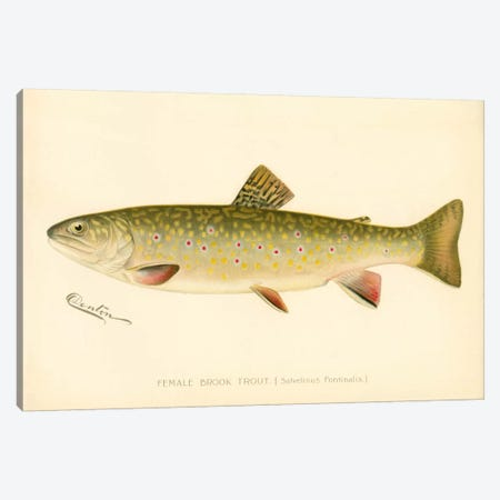 Female Brook Trout Canvas Print #PCA193} by Print Collection Canvas Print
