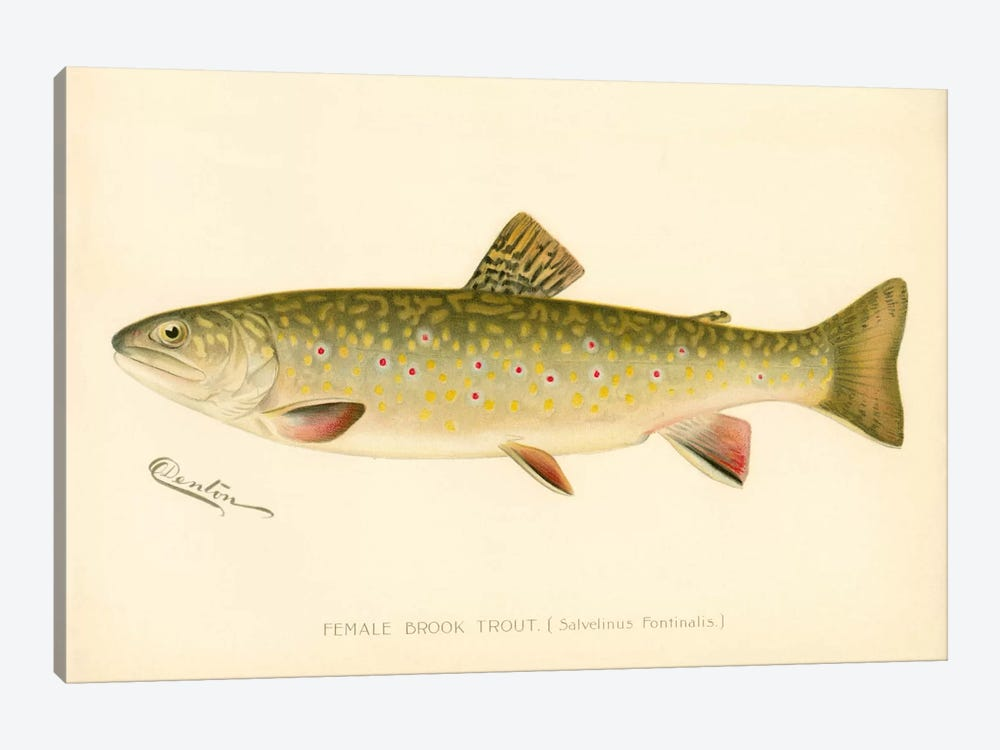 Female Brook Trout by Print Collection 1-piece Canvas Wall Art