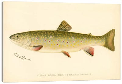 Female Brook Trout Canvas Print #PCA193