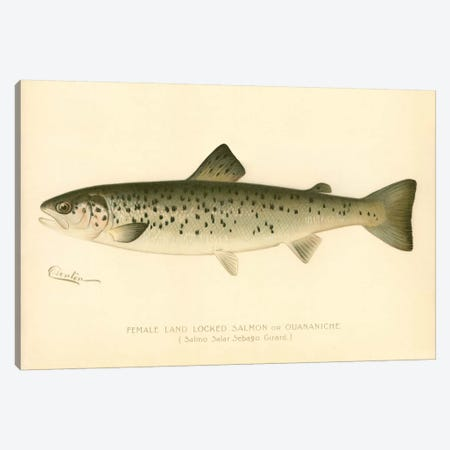 Female Land Locked Salmon Canvas Print #PCA194} by Print Collection Canvas Wall Art