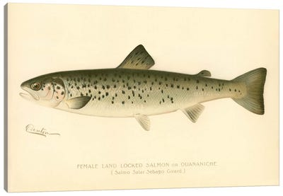 Female Land Locked Salmon Canvas Art Print