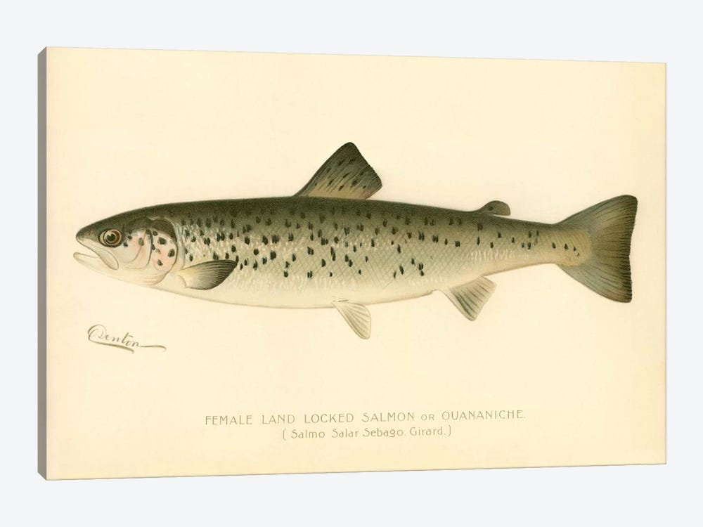 Female Land Locked Salmon by Print Collection 1-piece Canvas Print