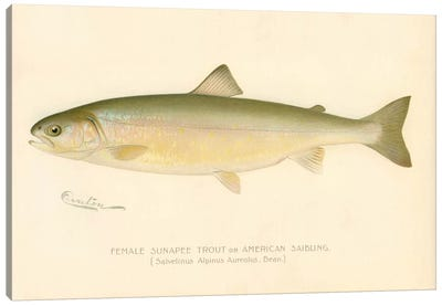 Female Sunapee Trout Canvas Print #PCA195