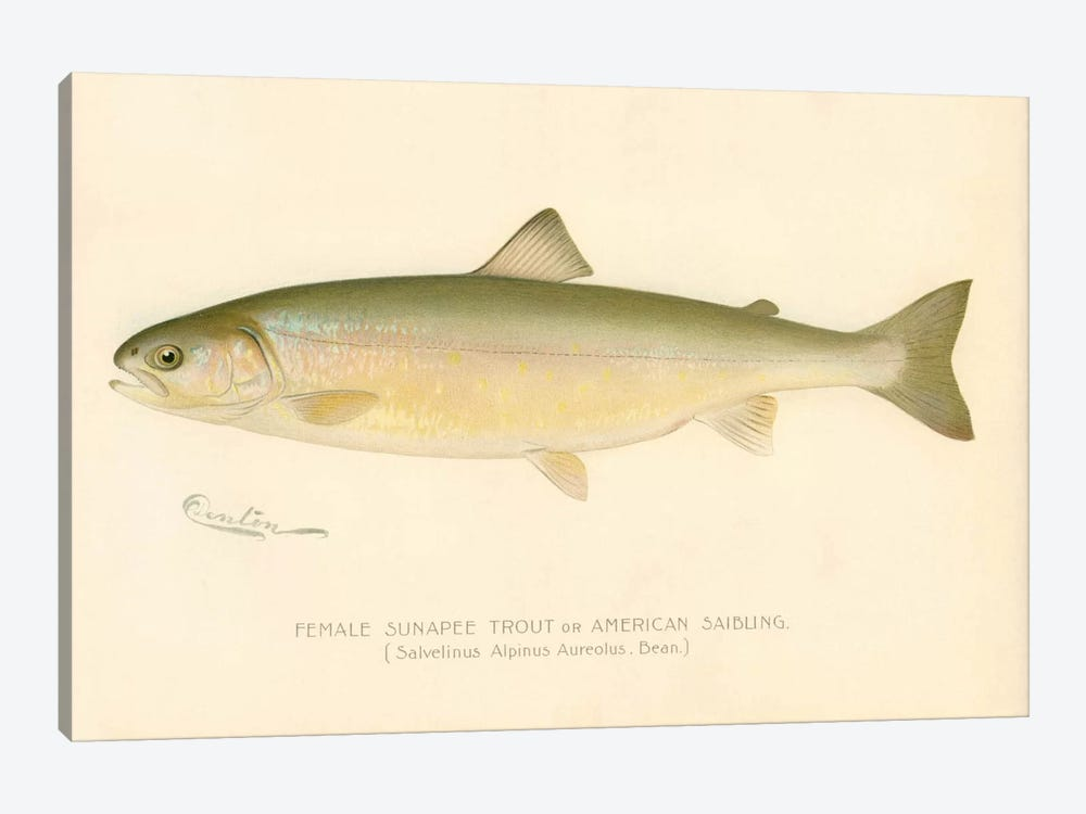 Female Sunapee Trout by Print Collection 1-piece Canvas Artwork