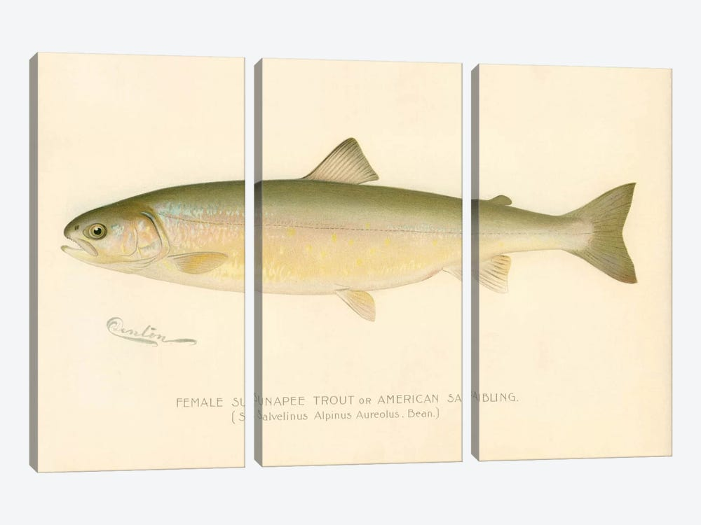 Female Sunapee Trout 3-piece Canvas Wall Art