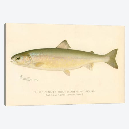 Female Sunapee Trout Canvas Print #PCA195} by Print Collection Canvas Art