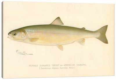 Female Sunapee Trout Canvas Art Print
