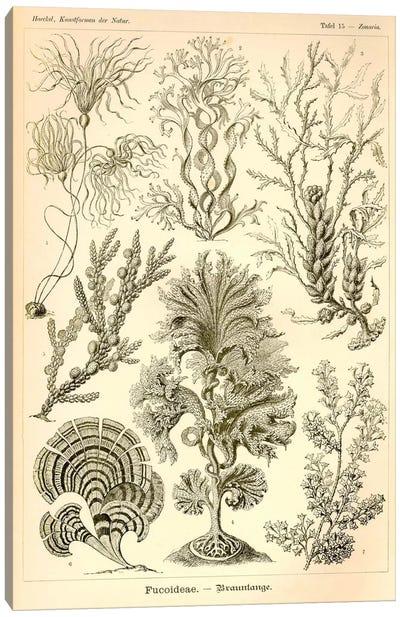 Fucoideae - Scheiben-Strahlinge - Heliodiscus Canvas Print #PCA197