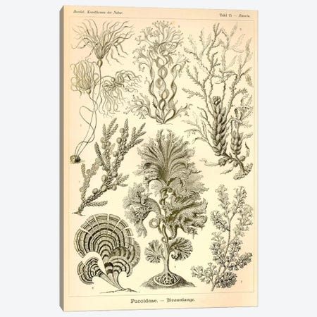 Fucoideae - Scheiben-Strahlinge - Heliodiscus Canvas Print #PCA197} by Print Collection Canvas Artwork