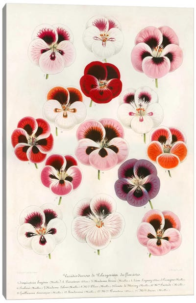 Geranium Varieties Canvas Art Print