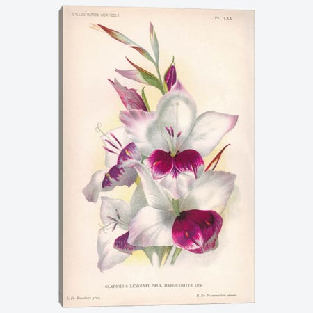 Gladiolus Lemoinei Canvas Print #PCA200} by Print Collection Canvas Print