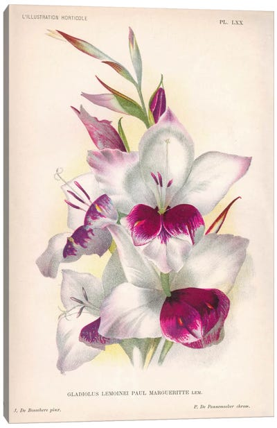 Gladiolus Lemoinei Canvas Art Print