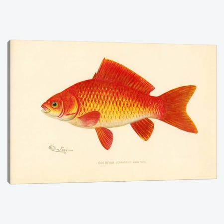 Goldfish Canvas Print #PCA201} by Print Collection Canvas Print
