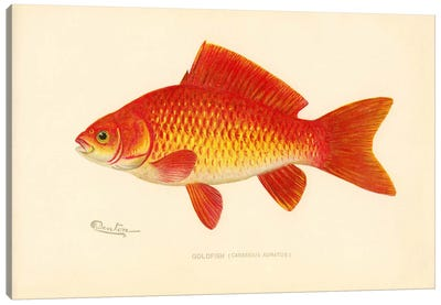 Goldfish Canvas Print #PCA201