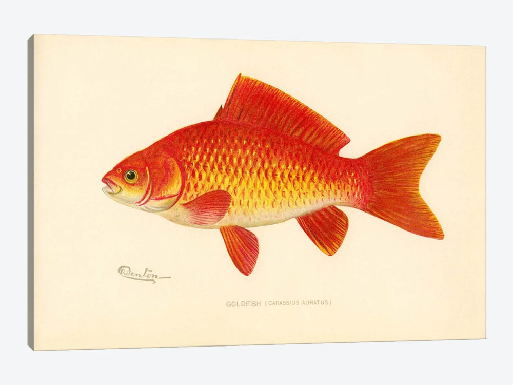 Goldfish by Print Collection 1-piece Canvas Print