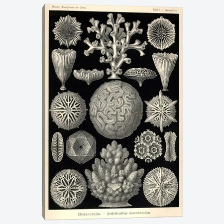 Hexacoralla Canvas Print #PCA202} by Print Collection Art Print