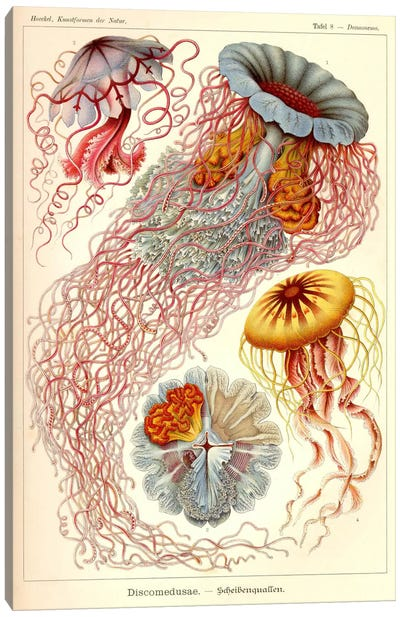 Jellyfish, Discomedusae Canvas Art Print