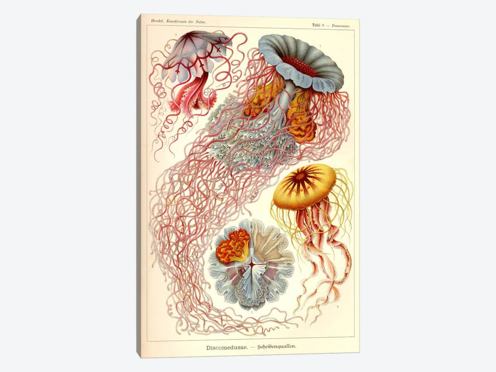 Jellyfish, Discomedusae by Print Collection 1-piece Art Print