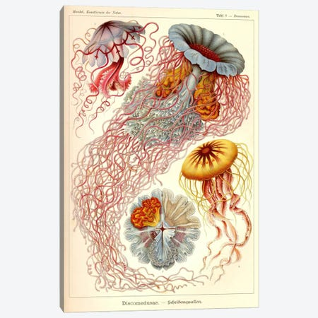 Jellyfish, Discomedusae Canvas Print #PCA221} by Print Collection Canvas Print