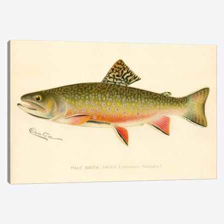Male Brook Trout Canvas Print #PCA224} by Print Collection Canvas Wall Art