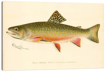 Male Brook Trout Canvas Print #PCA224