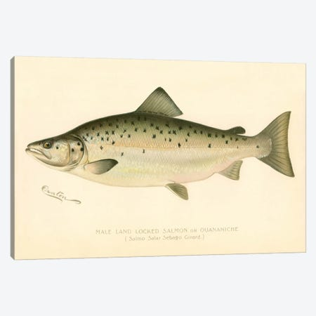 Male Land Locked Salmon Canvas Print #PCA225} by Print Collection Canvas Artwork