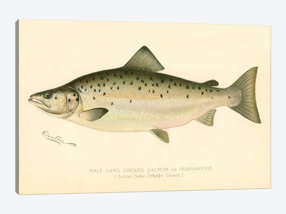 Male Land Locked Salmon by Print Collection 1-piece Art Print