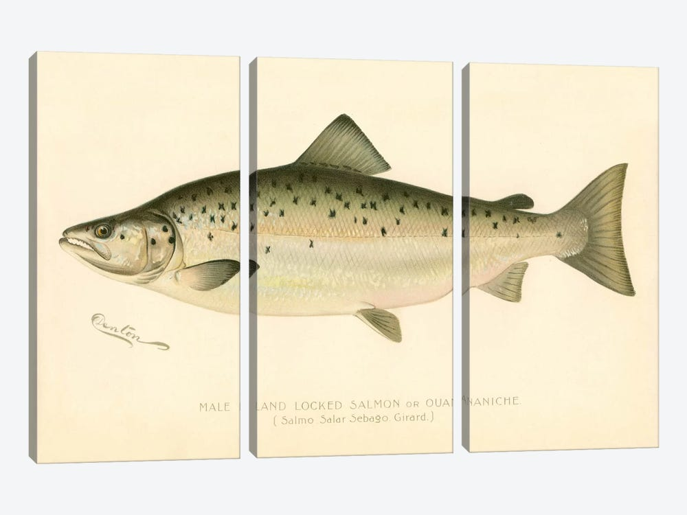Male Land Locked Salmon by Print Collection 3-piece Canvas Print