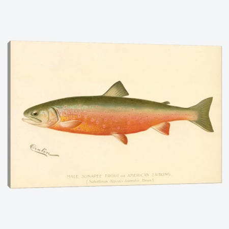 Male Sunapee Trout Canvas Print #PCA226} by Print Collection Canvas Wall Art