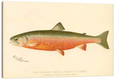 Male Sunapee Trout Canvas Print #PCA226
