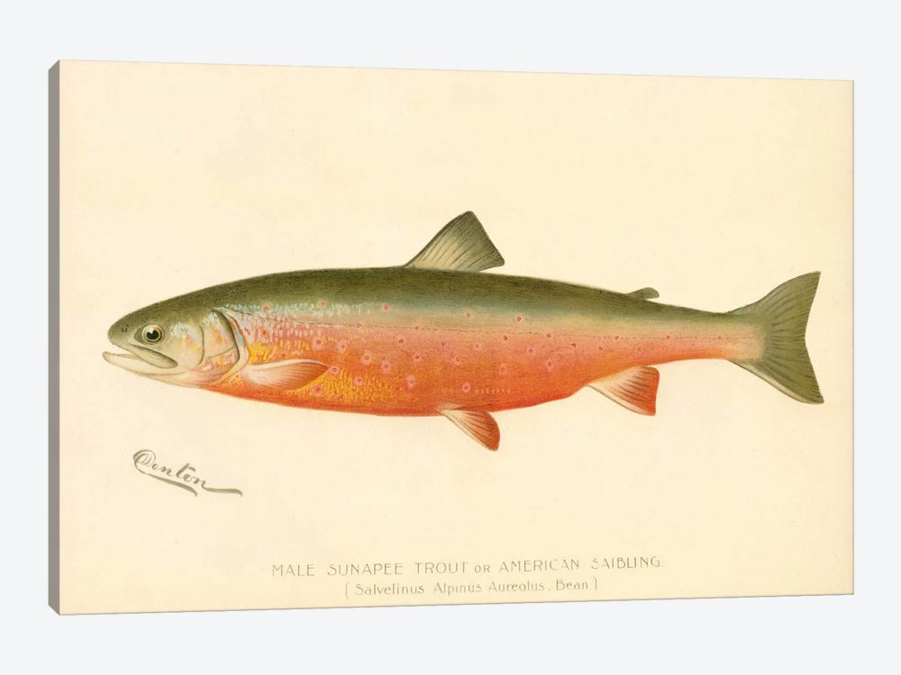 Male Sunapee Trout 1-piece Canvas Artwork