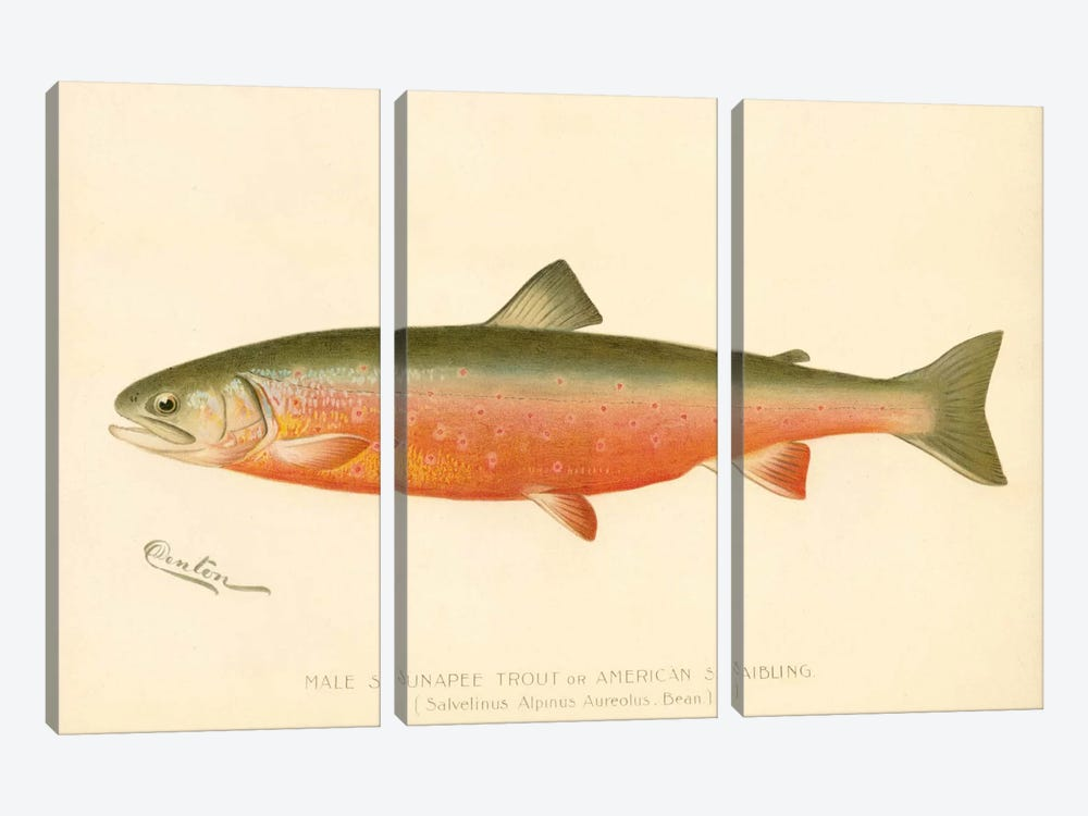 Male Sunapee Trout 3-piece Canvas Wall Art
