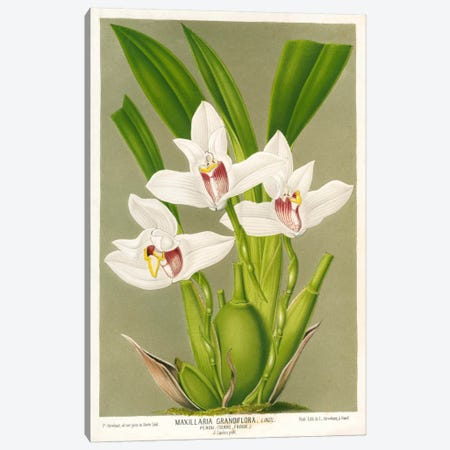Maxillaria Orchid Canvas Print #PCA228} by Print Collection Canvas Print