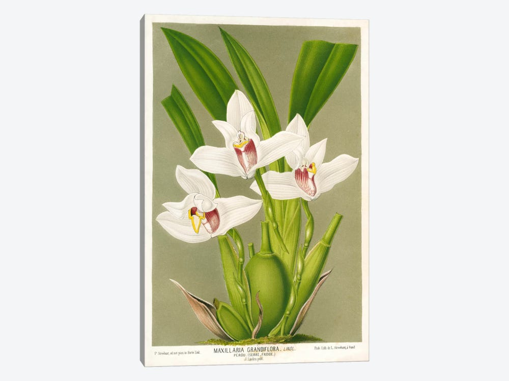 Maxillaria Orchid by Print Collection 1-piece Canvas Art