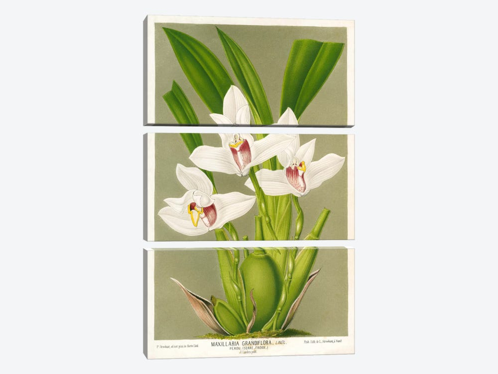 Maxillaria Orchid by Print Collection 3-piece Canvas Art