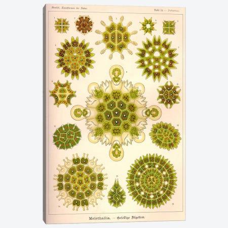 Melethallia Canvas Print #PCA229} by Print Collection Art Print