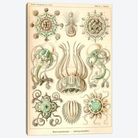 Narcomedusae - Scheiben-Strahlinge - Heliodiscus Canvas Print #PCA230} by Print Collection Canvas Artwork