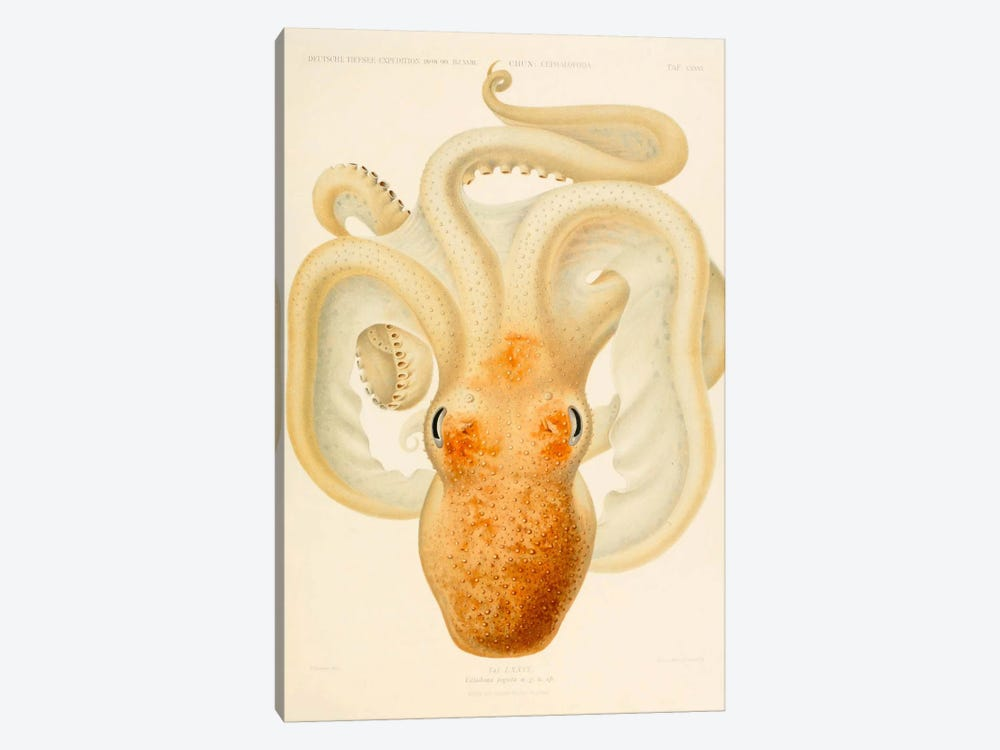 Octopus - Die Cephalopod - 1915 - Plate 76 by Print Collection 1-piece Art Print