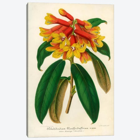 Orange Yellow Rhododendron Canvas Print #PCA235} by Print Collection Canvas Print
