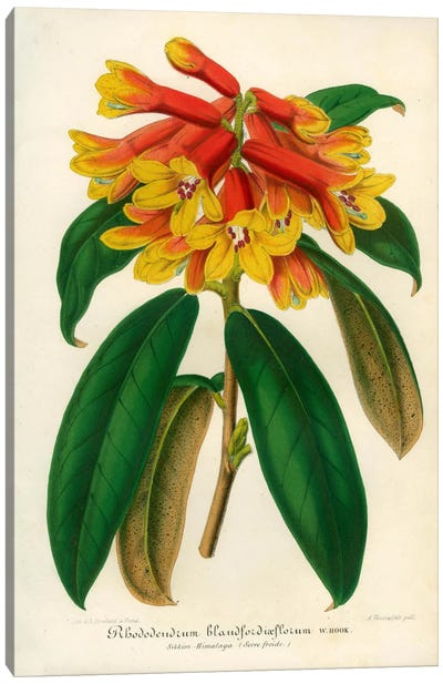Orange Yellow Rhododendron Canvas Print #PCA235