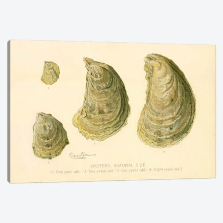 Oysters Natural Size Canvas Print #PCA237} by Print Collection Art Print