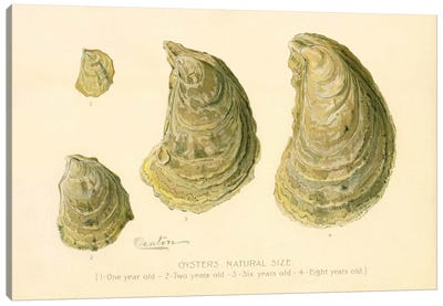 Oysters Natural Size Canvas Print #PCA237