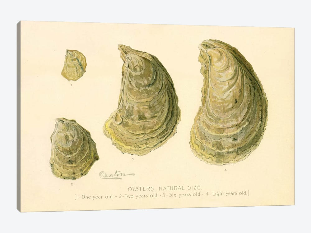 Oysters Natural Size by Print Collection 1-piece Canvas Artwork