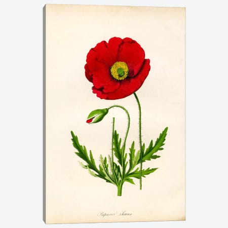 Papaver Rhoeas, Red Poppy Canvas Print #PCA238} by Print Collection Canvas Wall Art