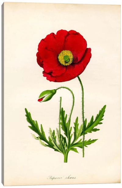 Papaver Rhoeas, Red Poppy Canvas Print #PCA238