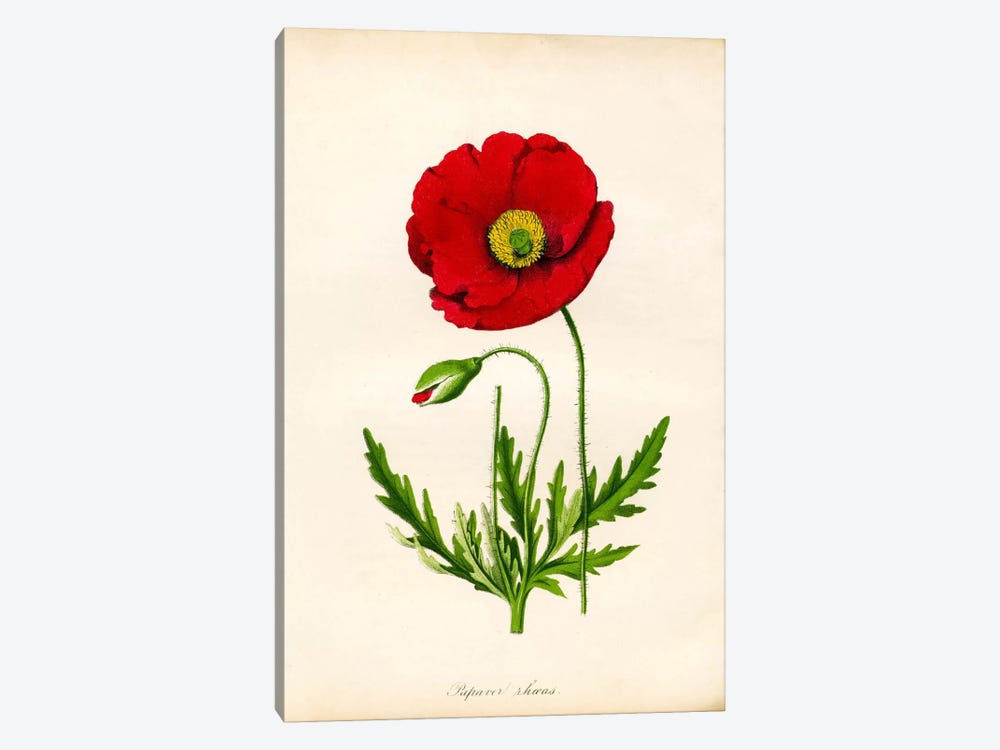 Papaver Rhoeas, Red Poppy by Print Collection 1-piece Art Print