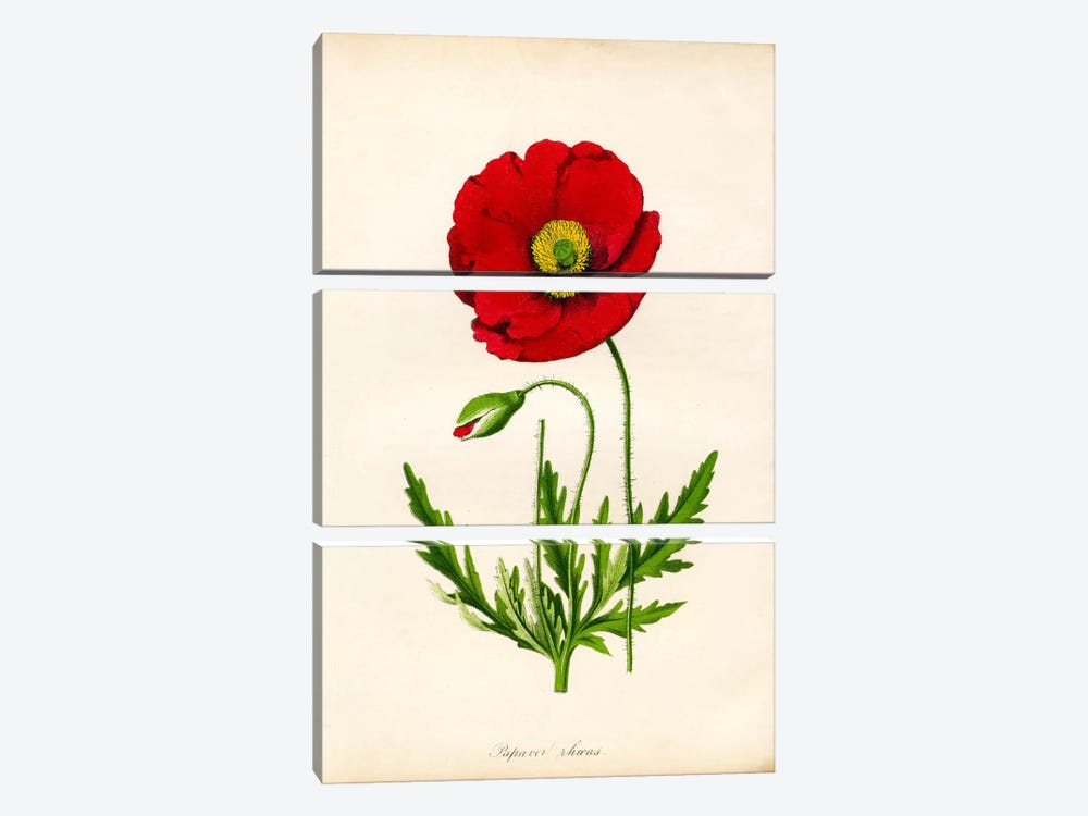 Papaver Rhoeas, Red Poppy by Print Collection 3-piece Canvas Art Print