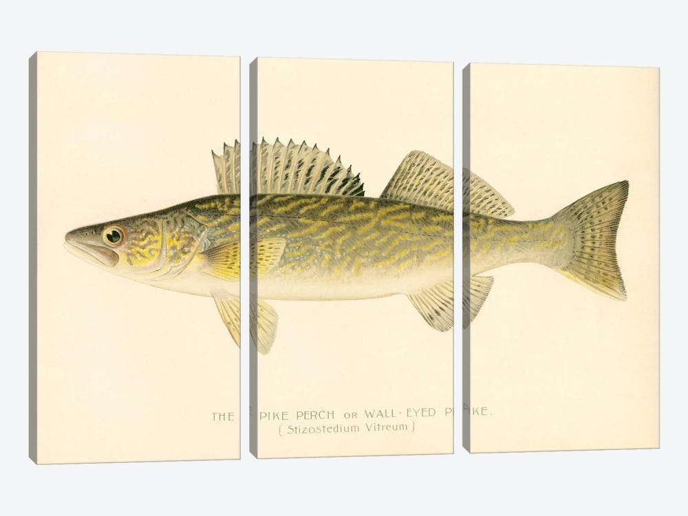 Pike Perch by Print Collection 3-piece Canvas Wall Art