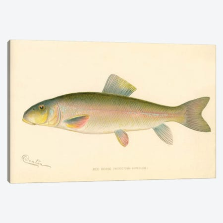 Red Horse Fish Canvas Print #PCA243} by Print Collection Canvas Art Print